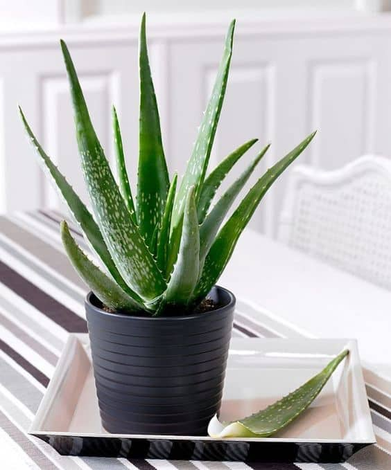 Front-Row-Misty-Trends-Aloe-Vera